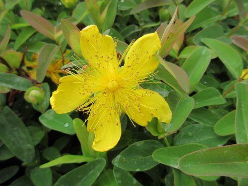 Hypericum calycinum - 9cm pot