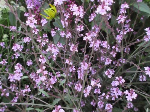 Verbena officinalis var. grandiflora Bampton - 9cm pot