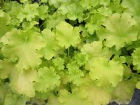 Heuchera Apple Twist - 9cm pot