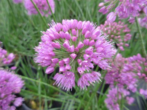 Allium Millennium - 2 litre pot