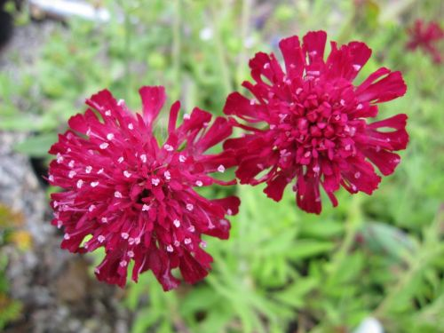 Knautia macedonica Red Knight - 2 litre pot