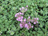 Thymus serpyllum Pink Chintz - 9cm pot
