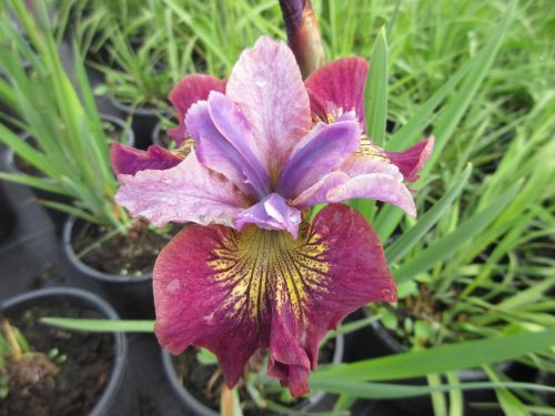 Iris sibirica Miss Apple - 2 litre pot