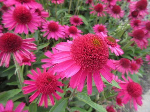 Echinacea Delicious Candy - 2 litre pot