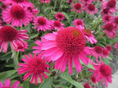 Echinacea Delicious Candy - 9cm pot