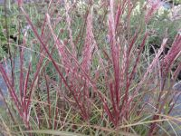 Miscanthus sinensis Red Chief - 2 litre pot