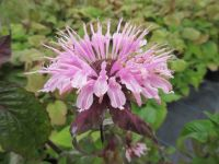 Monarda Beauty of Cobham - 2 litre pot