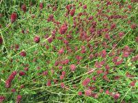 Sanguisorba officinalis Red Thunder - 2 litre pot