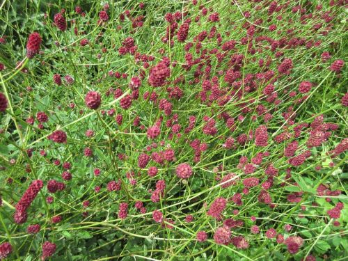 Sanguisorba officinalis Red Thunder - 2 litre pot