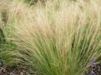 Stipa tenuissima - 2 litre  pot