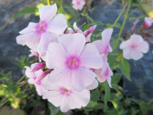 Phlox paniculata Sweet Summer Soft Pink - 9cm pot