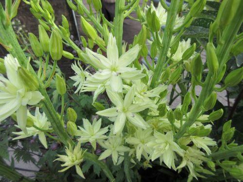Camassia leichtlinii Semiplena - 2 litre pot