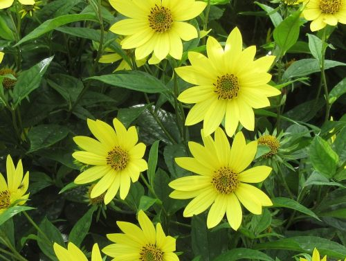 Helianthus Lemon Queen - 2 litre pot