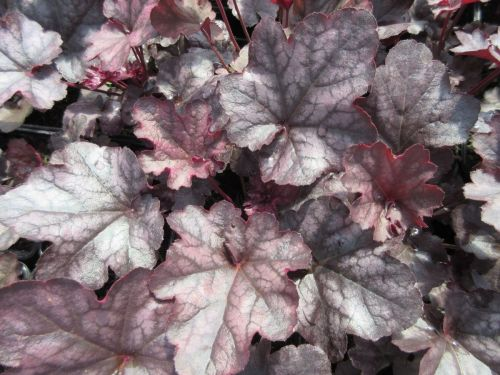 Heuchera Mulberry (Indian Summer Series) - 2 litre pot