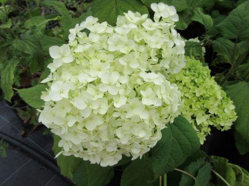 Hydrangea arborescens Annabelle - 3 litre pot