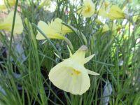 Narcissus Spoirot - 9cm pot