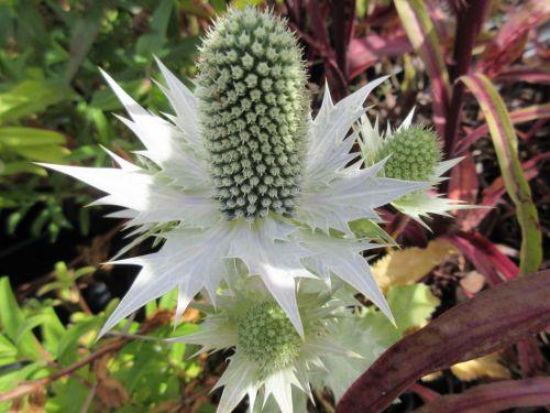Eryngium giganteum (Miss Willmott's Ghost) - 9cm pot