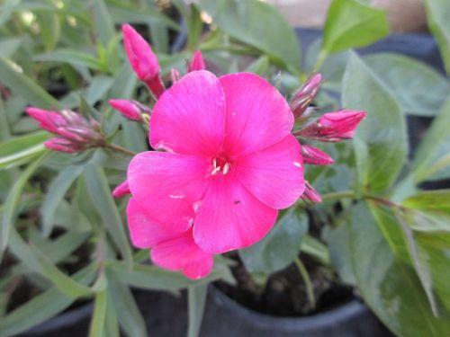 Phlox paniculata Sweet Summer Red - 9cm pot