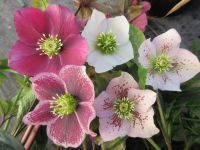 Helleborus x hybridus Pretty Ellen Mix - 2 litre pot