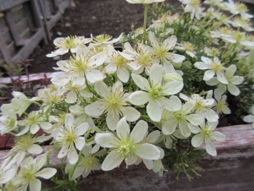 Clematis Emerald Dream - 2 litre pot