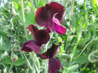 Sweet Pea, Beaujolais - 9cm pot