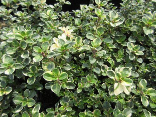 Thymus pulegioides Foxley - 9cm pot
