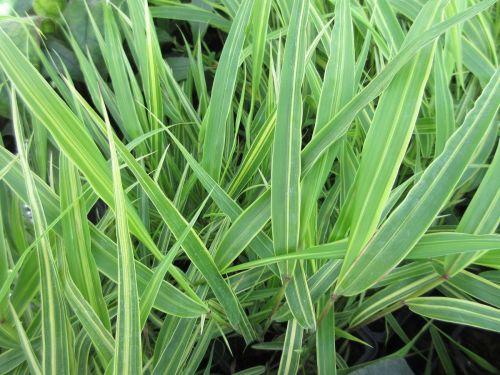 Hakonechloa macra Albostriata - 9cm pot