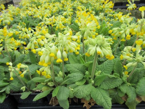 Primula veris Bright Deep Yellow - 9cm pot