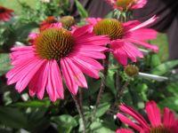 Echinacea purpurea Sensation Pink - 9cm pot