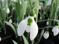 <!--006-->Spring Bulbs