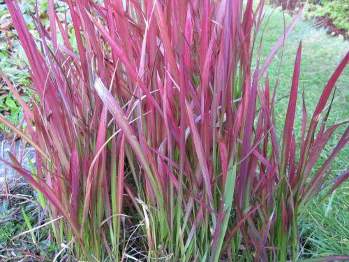 Imperata cylindrica Rubra (Red Baron)