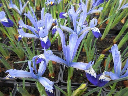 Iris reticulata Clairette - 9cm pot