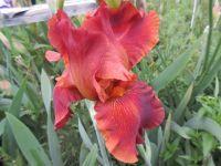 Iris Carnival Time (Tall Bearded) - 3 litre pot