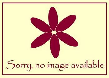 Teucrium chamaedrys f. albiflora - 9cm pot