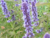 Agastache Blue Fortune - 2 litre pot