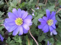 Anemone blanda blue-flowered - 9cm pot