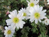 Anemone blanda White Splendour - 9cm pot