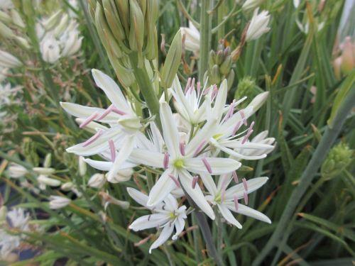 Camassia leichtlinii ssp. suksdorfii Alba - 2 litre pot