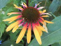 Echinacea Funky Yellow - 9cm pot