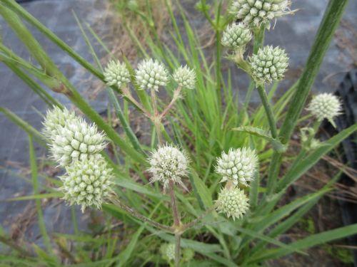Eryngium yuccifolium - 9cm pot