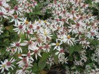 Aster divaricatus (Eurybia divaricata) - 2 litre pot