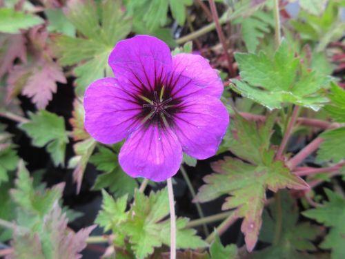 Geranium Anne Thomson - 9cm pot