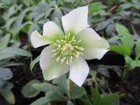 Helleborus x hybridus Pretty Ellen White - 9cm pot