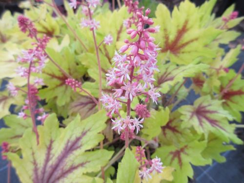 Heucherella Eye Spy - 9cm pot