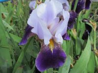 Iris Braithwaite (Tall Bearded) - 3 litre pot