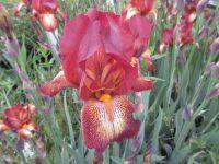 Iris Kent Pride (Tall Bearded) - 3 litre pot