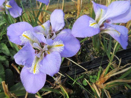 Iris unguicularis - 9cm pot