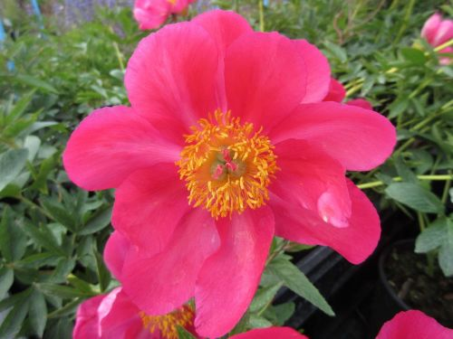 Paeonia Flame - 3 litre pot