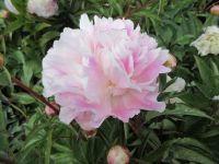 Paeonia lactiflora Catharina Fontijn - 3 litre pot