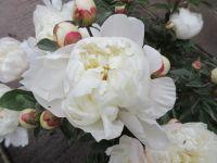 Paeonia lactiflora Immaculee - 3 litre pot